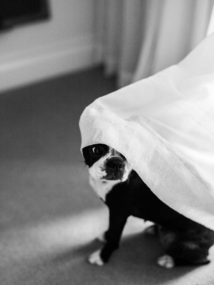 boston terrier with curtain on head